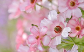 Picture flowers, tenderness, pink, rosove flowers
