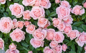 Picture roses, bouquet, pink, beautiful, buds