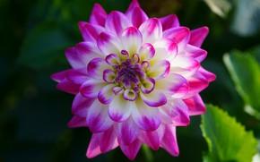 Picture flower, leaves, macro, background, pink, petals, garden, two-tone, Dahlia, bokeh, bright, dahlias, white, Dahlia