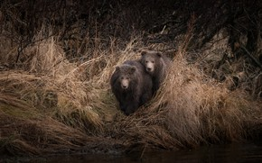 Picture autumn, grass, look, branches, pose, river, the dark background, thickets, shore, pair, bear, kids, bears, …