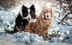 Picture winter, animals, dogs, snow, nature, pair, the bushes, Spaniel, the border collie