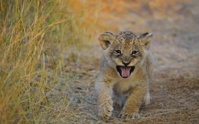 Picture language, grass, baby, mouth, face, lion, lion