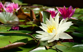 Picture leaves, flowers, pink, white, water lilies, pond, bokeh, water lilies, nymphs