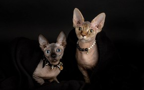 Picture look, cats, style, portrait, necklace, kittens, collar, a couple, faces, the dark background, fashionista