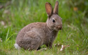 Picture grass, look, grey, glade, hare, baby, Bunny, hare