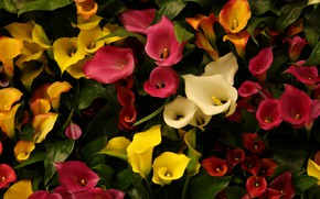 Picture flowers, the dark background, yellow, red, white, flowerbed, a lot, different, Calla lilies