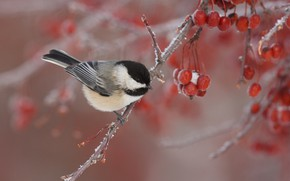 Picture winter, branches, nature, berries, bird, tit