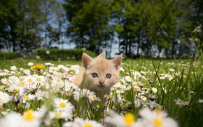 Picture cat, summer, chamomile