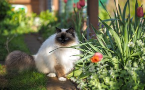 Picture cat, cat, look, light, flowers, nature, spring, garden, track, tulips, blue eyes, sitting, flowerbed, path, …