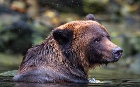 Picture look, face, background, portrait, bear, bathing, pond, wildlife, brown, midges