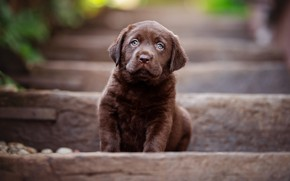 Picture dog, baby, ladder, puppy, stage, sitting, brown, chocolate, Retriever, toddler