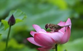Picture bird, Sparrow, Lotus