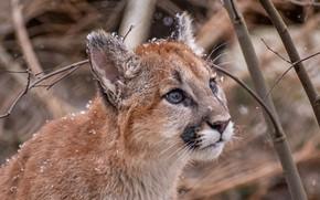 Picture face, snow, branches, cub, wild cat, Puma, Cougar