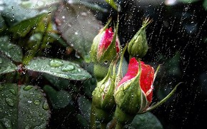 Picture leaves, flowers, nature, rain, Wallpaper, saver, pink buds, rain outside my window, rain drops on …
