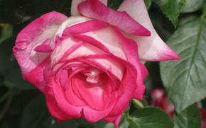 Picture flower, rose, petals, 2018, Mamala ©