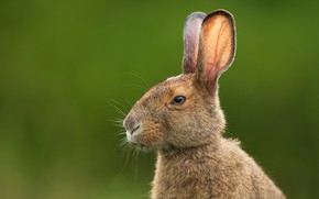 Picture look, face, background, hare, portrait, ears, Bunny