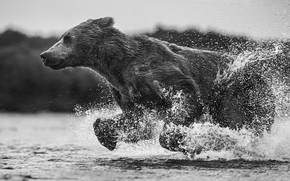 Picture water, squirt, wet, bear, running, bear, black and white photo