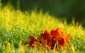 Picture autumn, grass, leaves, light, red, orange, maple, the colors of autumn, bokeh, autumn leaves