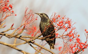 Picture branches, berries, tree, bird, fruit, red, Starling