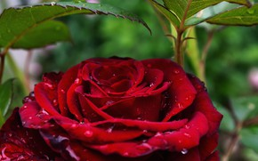 Picture drops, close-up, rose, Bush, water