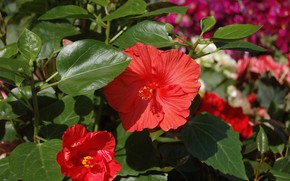 Picture leaves, flowering, hibiscus