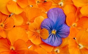 Picture macro, texture, petals, Pansy, Viola