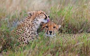 Picture language, grass, stay, glade, pair, Cheetah, two, muzzle, cheetahs, two Cheetah