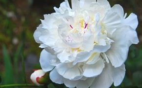 Picture white, flower, peony, peony