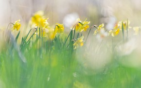 Picture light, flowers, blur, spring, yellow, flowerbed, daffodils, bokeh