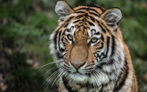 Picture look, face, portrait, wild cat, tigress