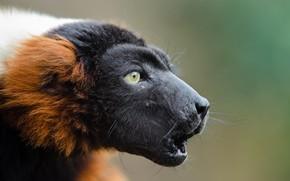 Picture Lemur, Red vari, Ruffed lemur