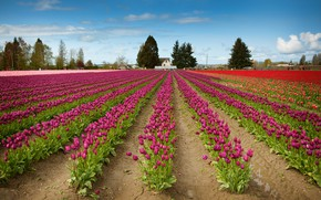 Picture tulips, pink, a lot, the ranks, field of tulips, plantation