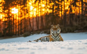Picture winter, forest, cat, the sun, light, snow, trees, sunset, nature, tiger, glare, trunks, lies, wild, …