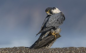 Picture look, nature, stones, bird, stump, Falcon