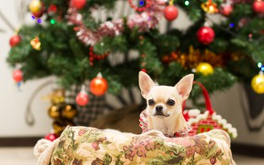 Picture look, balls, pose, room, dog, Christmas, outfit, puppy, New year, white, tree, face, bokeh, Christmas …