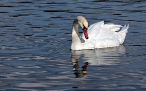 Picture white, water, reflection, bird, Swan, pond, swimming