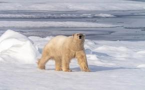 Picture winter, snow, shore, ice, walk, polar bear, North, pond