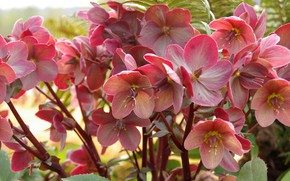 Picture flowers, flowerbed, a lot, hellebore, Helleborus