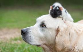 Picture face, dog, Guinea pig, bokeh, Golden Retriever, Golden Retriever