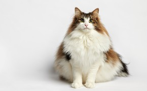 Picture cat, portrait, white background, fluffy, cat, Norwegian forest cat