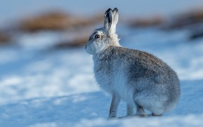 Picture winter, look, light, snow, pose, hare, shadows, profile, sitting, Bunny