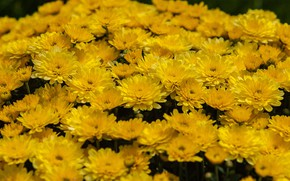 Picture flowers, yellow, flowerbed, chrysanthemum, a lot
