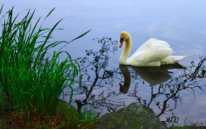 Picture white, grass, water, nature, reflection, bird, shore, Swan, pond, swimming