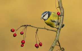 Picture berries, branch, tit