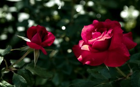 Picture leaves, flowers, roses, red, bokeh