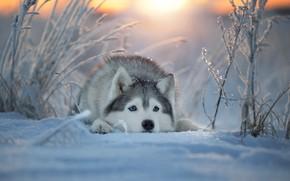 Picture winter, face, snow, dog, Husky, Svetlana Pisareva