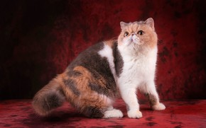 Picture cat, look, face, pose, red background, yellow eyes, extreme, spotted, Mosa, motley