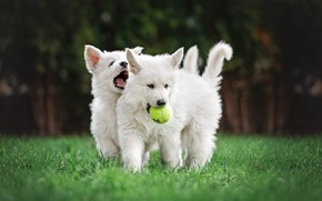 Picture dogs, summer, grass, Park, lawn, football, glade, toy, the game, the ball, puppies, mouth, pair, ...