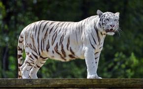 Picture white, tiger, predator, roar