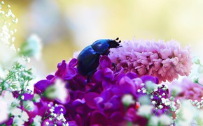 Picture summer, macro, flowers, blue, background, beetle, insect, pink, white, lilac